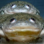 male-frogs-into-females_1